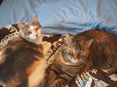 bed pals (Raccoon Photo) Tags: pet cats pets cute love animal animals cat fur paw furry feline kittens pixie domestic kitties paws companions love animals eyes cat pixie kamalani domestic ball cat cats fur adorable stardust adopted