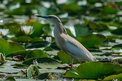 Squacco heron in the Danube Delta (Cost3l) Tags: bird heron nature wildlife romania danubedelta deltadunarii