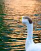 RandomClicks_091114_12 (flick_switch) Tags: water birds animals duck nikon tank random click banganga closedeye d5300