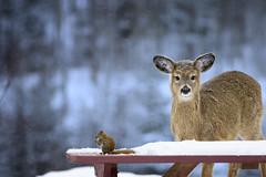 À Table (Renald Bourque) Tags: table squirrel hiver doe deer chevreuil écureuil fabuleuse