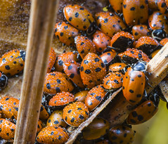 Lady Bugs- wet - Nov 15 2014-1 (TimSwihart) Tags: yosemite ladybugs diapause