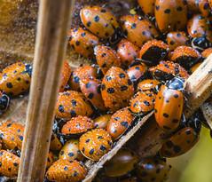 Lady Bugs- wet - Nov 15 2014-1 (TimSwihart) Tags: yosemite ladybugs diapause