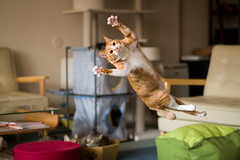 Irori (rampx) Tags: cat ginger jump pentax action kittens neko 猫 ねこ irori 645z