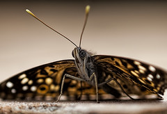 Butterfly watching you (Klaus Ficker) Tags: usa macro closeup canon butterfly insect eos5dmarkii klausficker