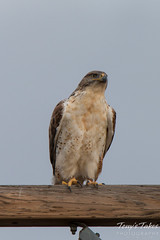 Ferruginous Hawk watches the landings at Denver International Airport