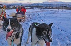 Dog Sledding near Tromso, Norway (David Alexander Elder) Tags: cruise november sky dog david norway circle island lights norge search husky ride centre arctic aurora elder fred sledding alexander wilderness polar northern sleigh olsen borealis alaskan tromso boudicca 2014 in aurorae kavaloya
