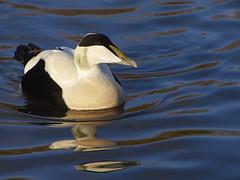 Eider  drake (Maggie's Camera) Tags: duck waterbird gloucestershire drake eider wwt slimbridge wildfowlandwetlands
