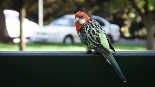 Rosy the Rosella