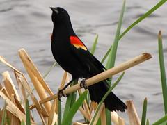 2014 May (got2snap) Tags: color birds spring may blackbird springtime