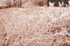 Wormwood (Sen_Spiritt) Tags: winter nature природа зима
