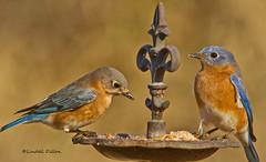 Bluebirds (Lindell Dillon) Tags: oklahoma nature birds raw tamron bluebirds easternbluebirds normanok hallbrooke lindelldillon