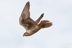 Prairie Falcon dive