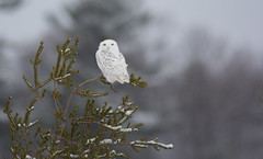 Snowy Owl (Ron Gallagher Photography) Tags: white snow bird nature birds fence flying nikon post snowy wildlife birding flight 300mm owl hay f28 bail snowyowl haybail snowies d7100