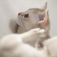Singapura Kittens 50 (peter_hasselbom) Tags: cats cat kitten flash kittens onwhite singapura 8weeksold 105mm twocats 2cats 2flashes 2kittens