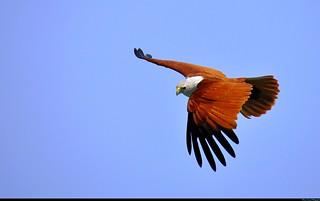 Greater Spotted Eagle in Phang Nga Bay  / Aigle criard dans la baie de Phang Nga