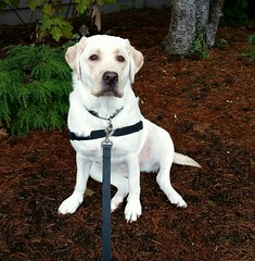 Gracie looking at me (walneylad) Tags: winter dog pet cute puppy gracie lab labrador january canine labradorretriever