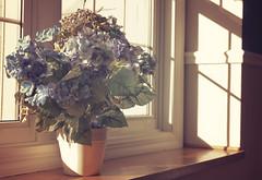 Flowers In The Window 007/365 [Explored] (Watermarq Design) Tags: flowers sun sunlight window floral project365 flowersinthewindow windowwednesday
