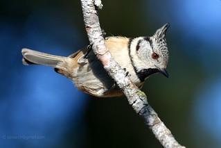 Crested tit (Lophophanes cristatus)  _0697