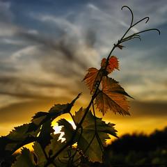 Soir dans les vignes (Hat'Man) Tags: sunset square landscape vineyard sundown paysage vignes coucherdesoleil hatman