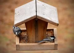 winter birds chickadee nuthatch projectfeederwatch
