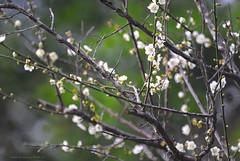 梅花 (Taiwan-Awei) Tags: awei taiwanawei 林敬偉 微距 macro nature flower