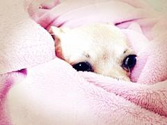 Boo Boos Resting After A Check Up. (EDWW (day_dae) Esteemedhelga) Tags: thegirls chihuahuamix olivia teagan dog mixedbreed thegirlschihuahuaprincesstelivydog caine fido bark fiesty funny esteemedhelga daydae edww
