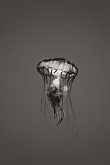 Pacific Sea Nettle (Metro Tiff) Tags: ocean jellies jellyfish bloom jelly animalia swarm pacificseanettle