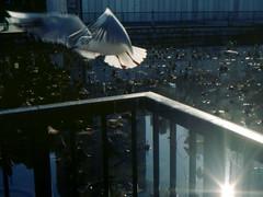 (wind run) (Dinasty_Oomae) Tags: tokyo ueno seagull  konica  taitoku  shinobazunoike     konical i