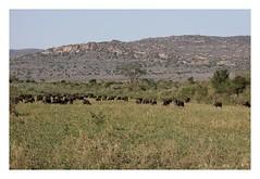 Syncerus caffer - African buffalo (Marc Nollet) Tags: kenya safari kws synceruscaffer africanbuffalo natuurfotografie tsavowest nollet afrikaansebuffel buffledafrique kenia2014 spotkenyasafaris