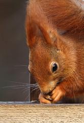 The Sweet Little Thief (AnyMotion) Tags: portrait nature animals closeup garden tiere squirrel frankfurt wildlife natur birdfeeder portrt thief urbanwildlife garten nahaufnahme redsquirrel dieb 2016 sciurusvulgaris vogelhuschen anymotion 7d2 europischeseichhrnchen canoneos7dmarkii