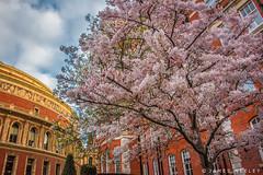 Bloom at RAH (James Neeley) Tags: london spring royalalberthall jamesneeley
