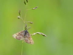 Gewone heispanner (diederickmeinen) Tags: vlinders