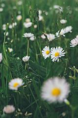L9990632, Leica X Vario (Gensu) Tags: leica flowers flower macro dof bokeh meadow wiese blumen x blume makro vario xvario leicaxvario