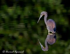 Tricolored heron - IMG_4823 (arvind agrawal) Tags: reflection green heron water wildlife wetlands fl tricoloredheron egrettatricolor delraybeach wakodahatcheewetlands bitd