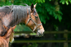 Jeune maman mfiante (marieclairecroize) Tags: horse mare foal