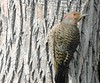 Pic flamboyant, femelle, forme dorée - Northern Flicker, golden form, female......3 mai 2016........ DSCN23551 (Diane.G.) Tags: picflamboyant northernflicker pic flicker oiseaux birds avianexcellence thesunshinegroup coth damniwishidtakenthat eblouissantenature damnfinepicture bestofdamn confidentialisthebest sunrays5 collectionparimpatience alittlebeauty faunaandflora photossansfrontières lapetitegalerie ayezloeil fantasticnature realbutee coth5 livingjewelsofnature preciouslivingjewelsofnature memberschoice
