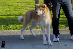akita (DaFide_CA) Tags: friends dog cats fish cute bird dogs beautiful animal cane cat duck turtle awesome donkey amici gatto gatti animali cani