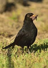 _MRC3256 (Obsies) Tags: birds blackbird mirlo d4s sigma300800 sigmonster
