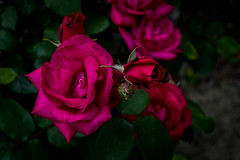 DSC_0482 (pillarsoflight) Tags: pink flowers red roses flower beauty rose oregon portland nikon adobe pdx 1855 pnw lightroom d3300