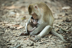 N13_9285 (Bugphai ;-)) Tags: africa family wild hairy baby cute love nature beauty animal horizontal female forest fur mom asian mammal monkey groom milk holding furry pretty looking friendship stones african wildlife small young mother clean grooming eat jungle sit ape worry tweaked primate rare maternal simian macaque defend instinct protecting maraca rhesus fuscata