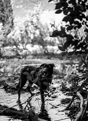 Foliage (Mason Aldridge) Tags: dog cute canon puppy 50mm mix eyes lab labrador dof sweet bokeh shepherd f14 adorable depth pupper woofer shallowdepthoffield 6d wideopen