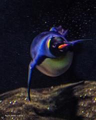 Peggy's Underwater Swim (jackalope22) Tags: sea nature water animal swimming swim zoo dive bubbles penquin