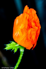 poppy 4598 (R-Pe) Tags: show camera abstract canon photo nikon foto fotografie photographie sony picture pic exhibition peter gift bild geschenk ausstellung aufnahme melancholie 1764 rpe rbi 1764org www1764org