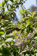 IMG_4267 (armadil) Tags: fruits fruit backyard plum plums plumtree