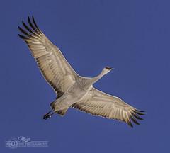 DSC_9095 (mikeyasp) Tags: nature birds outdoors flying wings nebraska feathers cranes redheads avian sandhillcranes gruscanadensis