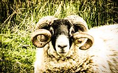 Princess Leia look is trending (morag.darby) Tags: nature animal digital fun scotland starwars nikon sheep natural farm horns princessleia nikkor d3300