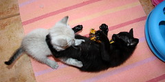 Gata Pucca (19) (adopcionesfelinasvalencia) Tags: gata pucca