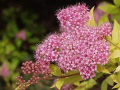DSC00688 (gregnboutz) Tags: flowers flower macro macros springflowers brightflowers pinkflowers macroflowers macroflower bloomingflower bloomingflowers colorfulmacros