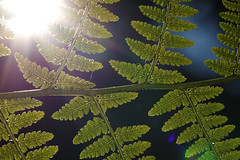 Das Farnkraut Order (BigWhitePelican) Tags: sun fern macro nature leaves finland may silhouettes 2016 canoneos7d adobelightroom4