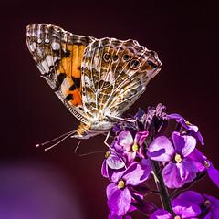 Vanessa cardui [Explored] (FotoCorn) Tags: explored vanessacardui macro distelvlinder insekt butterfly papillon schmetterling tuin vlinder insect flickr